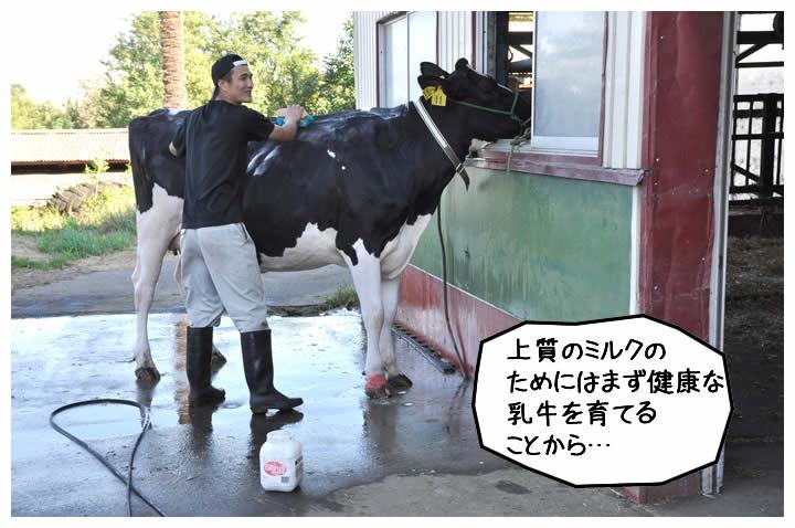 上質のミルクのためにはまず健康な乳牛を育てることから…